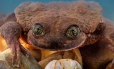 Najosamelejšia žaba na svete si konečne našla polovičku. Druh nevyhynie
