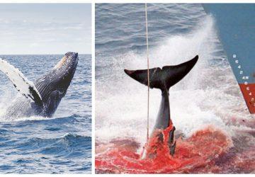 Je to oficiálne: Japonsko odstupuje od Medzinárodnej veľrybárskej komisie a obnovuje komerčný lov veľrýb