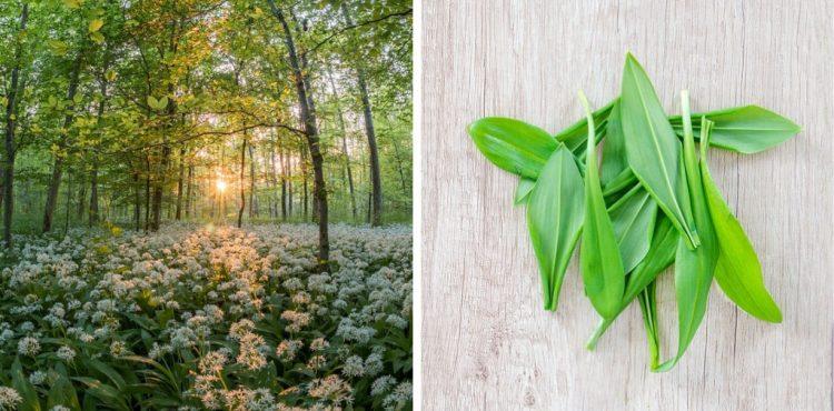 MEDVEDÍ CESNAK: Sezóna liečivej byliny vrcholí, no aj zber má určité pravidlá