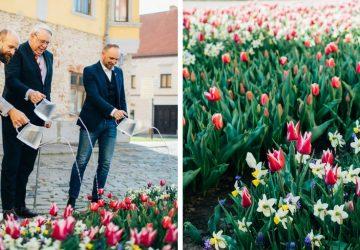 """Špeciálna návšteva v Trnave: holandský veľvyslanec spolu s primátorom Bročkom symbolicky poliali tulipány odrody """"Slovensko"""""""