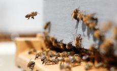 Dostane sa včela do zoznamu chránených živočíchov? Aktivisti z Púchova spisujú petíciu