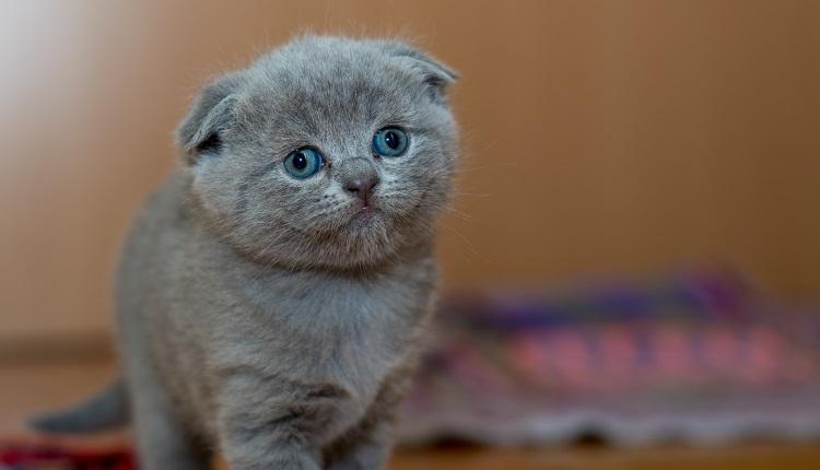 Svojho mŕtveho miláčika môžete oživiť: V Číne mňauká prvá klonovaná mačka